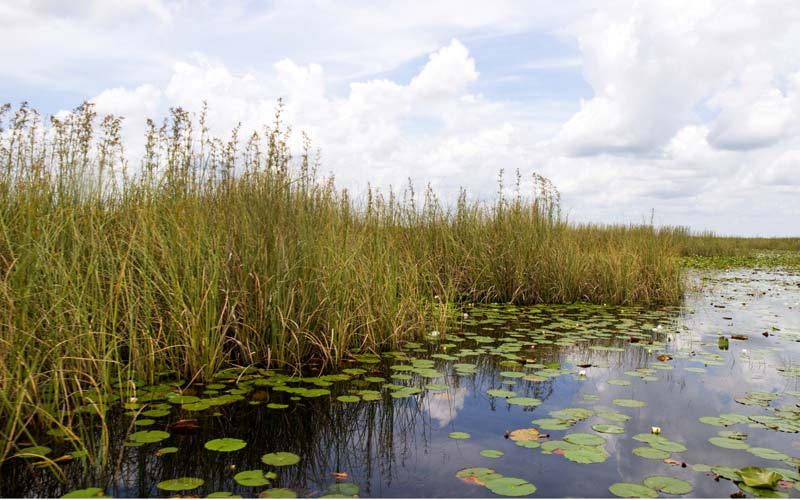 Lilypads and vital grasses define a section of the Everglades